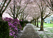 capitol mall / cherry blossoms