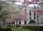 state library / cherry blossoms