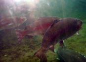 Fish in Sturgeon Pond