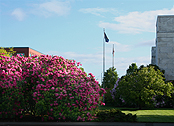 Rhododendron bushes at Exec building