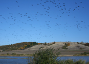Baskett Slough - birds in flight
