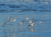 Sandpipers flying