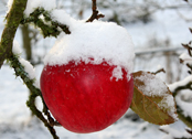 snow on apple