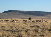 antelope - E. Oregon (provided by State Lands)