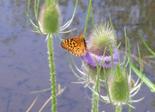 butterfly on thistle (provided by State Lands)