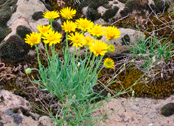 yellow flowers (provided by State Lands)