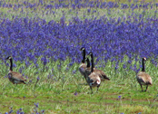 Canada geese at Foster Creek (provided by State Lands)