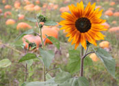 sunflowers in the pumpkin patch