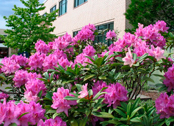 rhododendron (provided by State Lands)