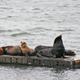 sea lions at Charleston, Oregon