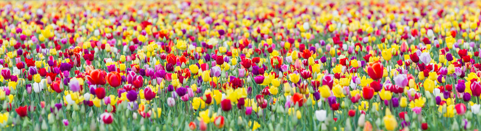 Field full of a variety of tulip colors.