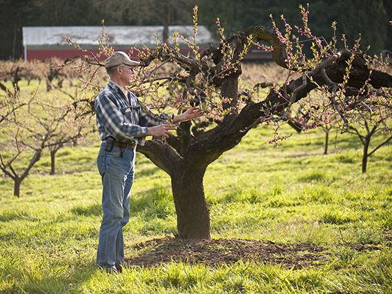 Orchardist examines budding branches on a fruit tree.