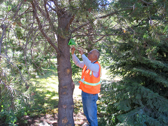 Employee inspecting an invasive species trap in a tree.