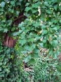 Atlantic ivy