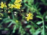 Creeping yellowcress
