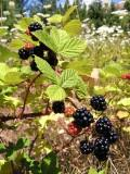 Armenian blackberry (Himalayan blackberry)