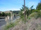 Jubata grass