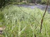 Ribbongrass