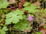 Shiny leaf geranium