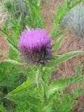 Taurian thistle