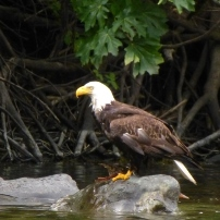Blad eagle perches on a rock in the Rogue River.