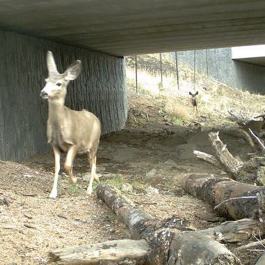 Deer take advantage of a dedicated undercrossing in central Oregon.