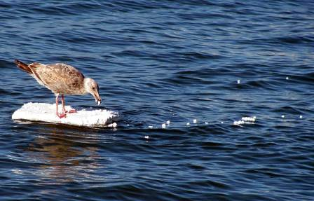 Seagull eating unencapsulated foam.  Picture from the Pacifica Beach Coalition