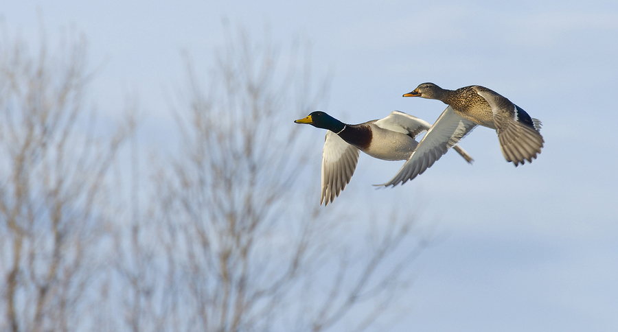 Male and female ducks preparing to land -image