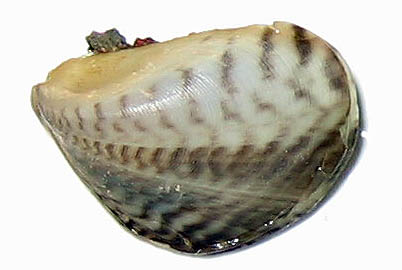 picture of a quagga mussel