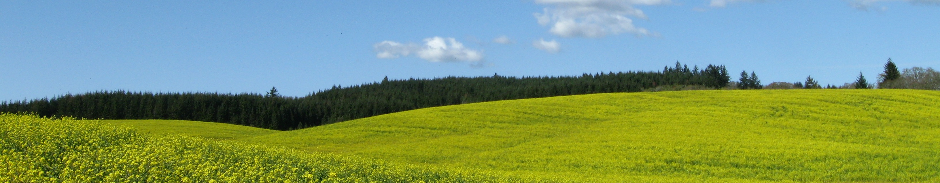 Yellow field west of Salem 1.JPG