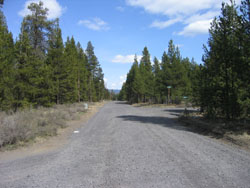 Paved, rural road lined with pine trees on otherwise vacant land.