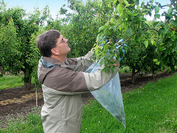 Employee collecting samples from a fruit tree.
