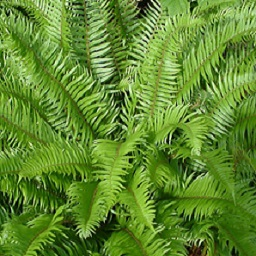 Fern fronds collected as special forest product