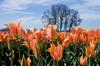 Tulip field in Oregon