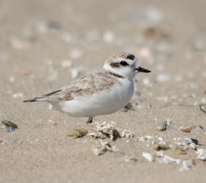 Photo of western snowy plover adult
