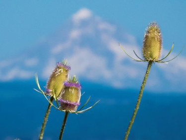 Photo of teasels and Mt. Hood, Oregon. Copyright: Mark Newsome, scenesaroundoregon.com..