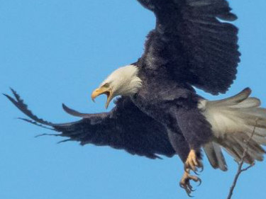 Photo of a bald eagle in Tangent, Oregon. Copyright: Mark Newsome, scenesaroundoregon.com.